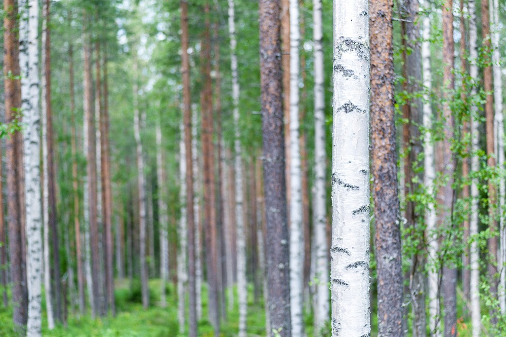 Wald in Lappland